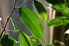 Foto: that ficus again by ndrwfgg