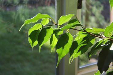Zahlreiche Zimmerpflanzen-Arten nehmen viel Wasser auf und können dadurch ebenfalls viel Feuchtigkeit an die Luft abgeben.