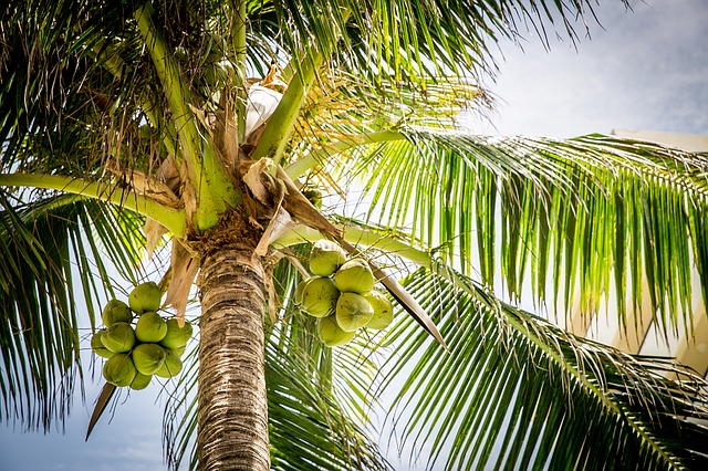 Die Kokospalme