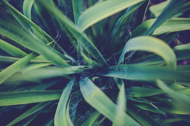 Yucca-Palme als Büropflanze