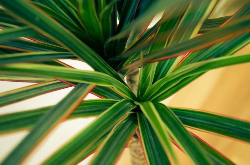 Luftreinigende Pflanzen fürs Büro: Drachenbäumen sind ideale Büropflanzen