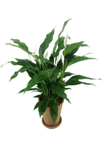 Luftreinigende Pflanzen: Einblatt